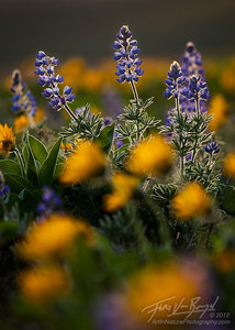 Lupine and Balsamroot Flowers, Columbia Hills, Washington