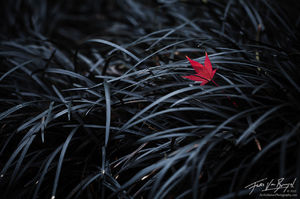 The Fallen, Maple Leaf, Black Mondo Grass
