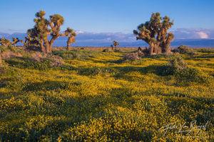 Goldfields, Spring, Joshua Trees