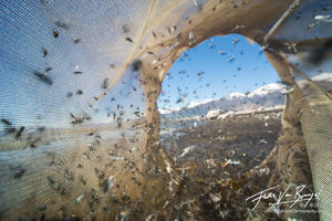 science, alkali flies, mono lake