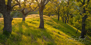 Mt Diablo Oak Trees, California, sunshine, spring
