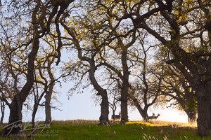 Mt Diablo State Park, Deer, Oak Trees
