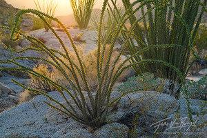 Ocotillo, Anza-Borrego State Park, California