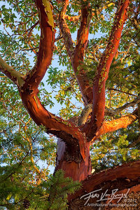 Pacific Madrone, San Juan Islands, Washington