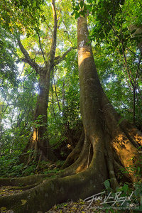 Ceiba in the Palenque Jungle, Chiapas, Mexico