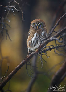 Patagonian Pygmy Owl, Torres del Paine National Park, Patagonia