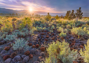 Pine Cones, Sagebrush, Owens Valley