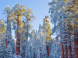Giant Sequoias, Snow and Sunshine, Winter