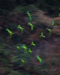 Parakeets, Sima de las Cotorras, Chiapas
