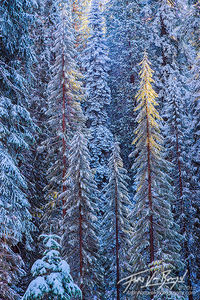 Sunshine, Snowy Forest, Winter