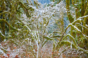 Snow Mossy Trees, Mount Baker National Forest, Washington