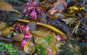 Seaweeds, Chichagof Island, Southeast Alaska