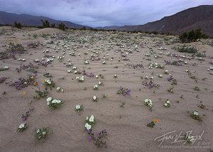 Desert Flowers and Rain, Anza-Borrego State Park, California Desert
