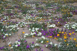 Desert Spring Flowers, Anza-Borrego State Park, California Desert