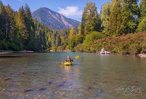 Sockeye Salmon, Spawning, White River