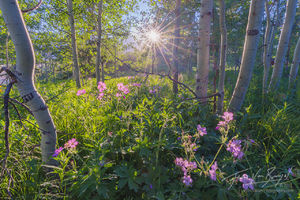 Aspen Forest, Blooming Flowers, Jackson Wyoming