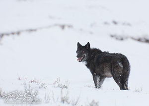 Gray Wolf, Lamar Valley, Yellowstone National Park