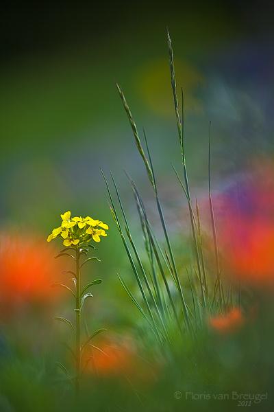 Alpine Wildflowers, Olympic National Park, Washington, photo