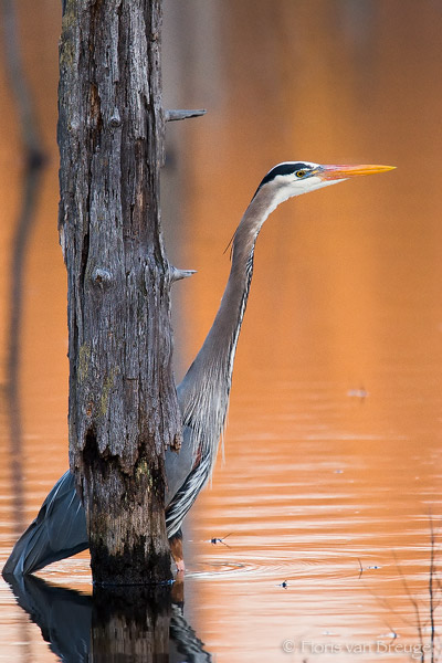 Great Blue Heron (Ardea herodias), Sapsucker Woods Ithaca, New York, hunting, orange, photo