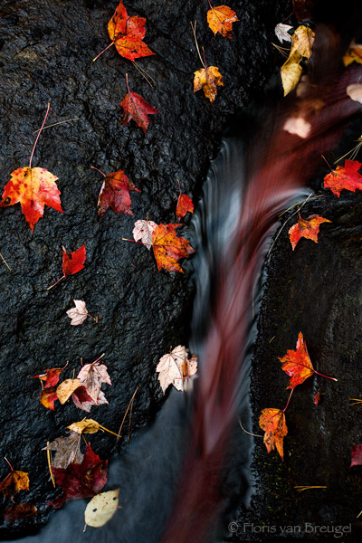 Fall Leaves and Stream, Adirondacks, New York, nature's blood, new england, autumn, red, leaves, photo