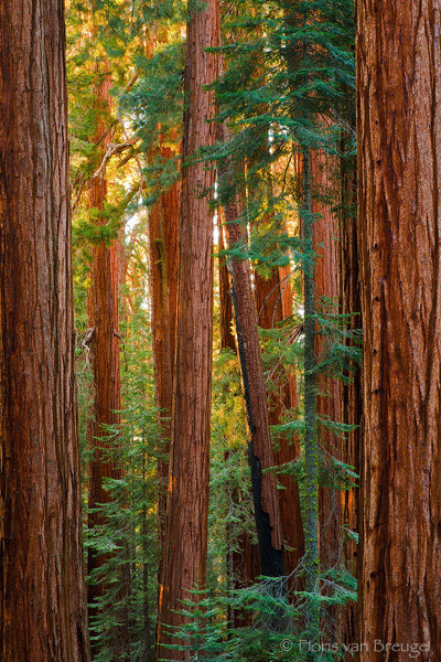 Sequoias Warm Light, King's Canyon National Park, California, copper light, giant sequoias, photo