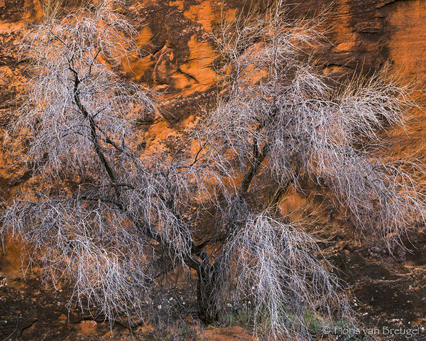 Cottonwood in Paria Canyon, Vermillion Cliffs, Arizona, Paria's gray hairs, southwest,, photo