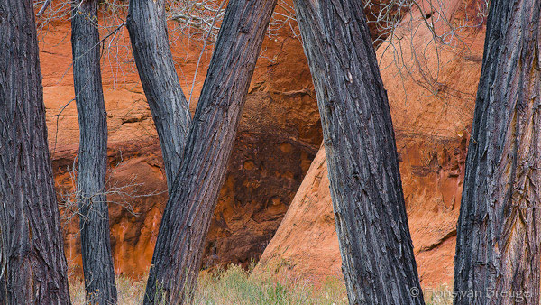 Cottonwoods along Paria River, Vermillion Cliffs, Arizona, cottonwoods dancing, , photo