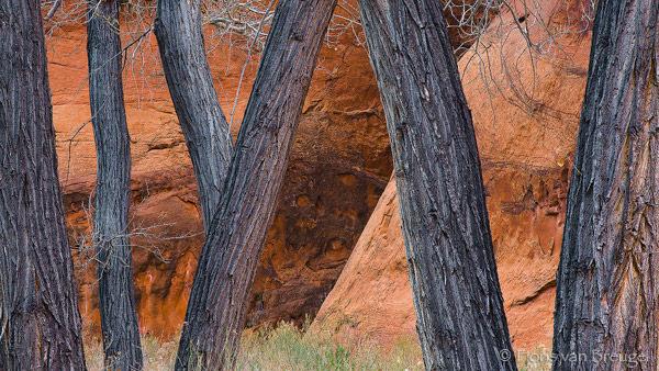 Cottonwoods along Paria River, Vermillion Cliffs, Arizona, cottonwoods dancing, , photo