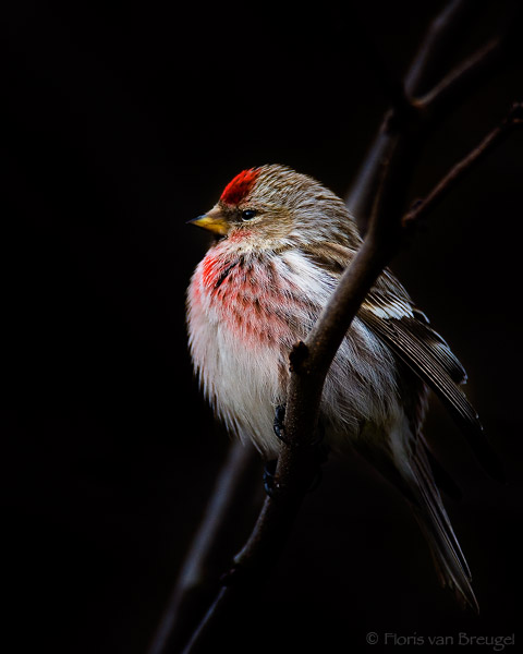 Common Redpoll Carduelis flammea, Ithaca, New York, photo