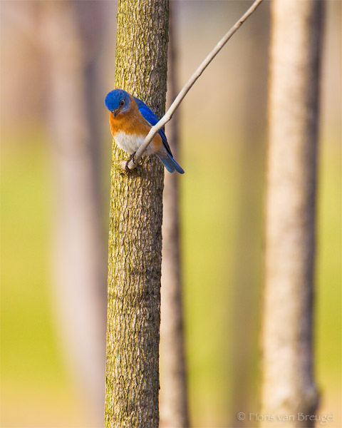 Eastern Bluebird Sialia sialis, Ithaca, New York , photo