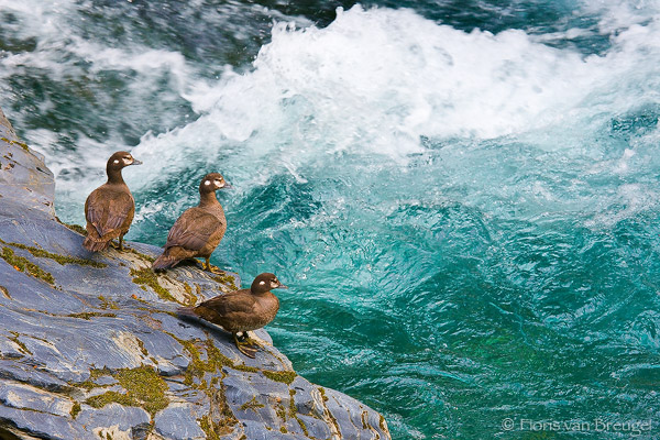 Harlequin Ducks Histrionicus histrionicus along Quinault River, Olympic National Park, Washington, photo