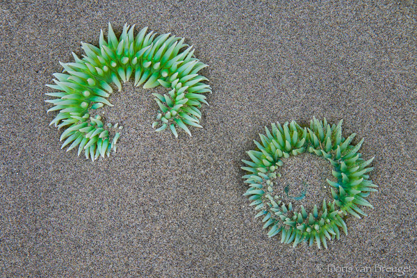 Sea Anemones at Low Tide, Olympic National Park, Washington, aquatic aliens, tide pools, photo