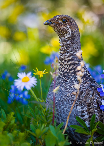 Dusky Grouse Dendragapus obscurus in Flowers, Mount Rainier National Park, Washington,, photo