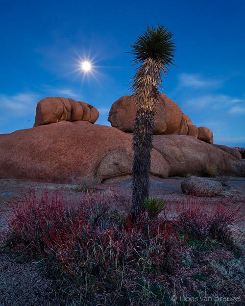 Joshua Tree and Moon, Joshua Tree National Park, California, desert moonlight, night, photo