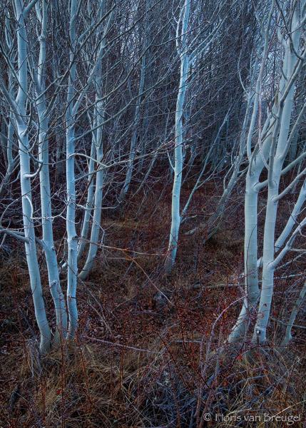 Winter Aspen Ghosts, Owens Valley, California, photo