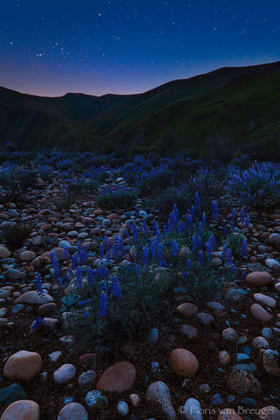 Lupine and Kings River with Stars, Foothills, California, spring, sierra, cosmic patio, photo