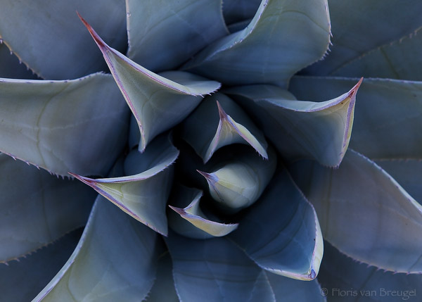 Agave, Anza-Borrego State Park, California, , photo
