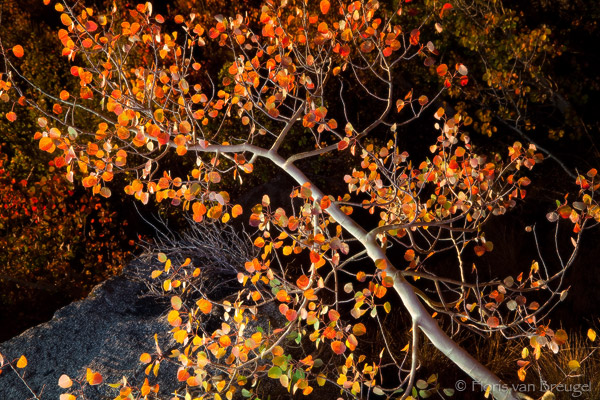 Autumnal Grace Aspen, Eastern Sierra, California, autumn, photo