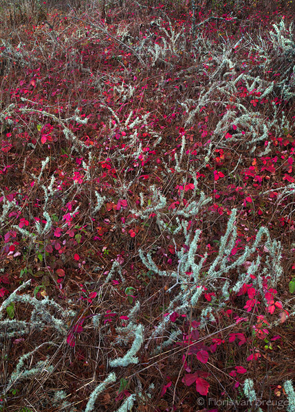 Poison Oak Fall Color, Point Lobos, California, beautiful poison, monterrey, coastal forest, photo