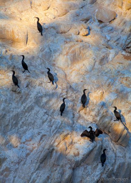 Double-crested Cormorant, Point Lobos, California, cormorant light show, Phalacrocorax auritus, monterrey, photo
