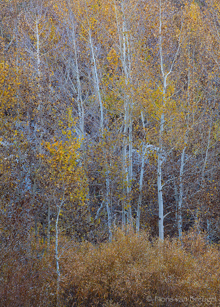Bishop Creek Fall Aspen Color, Eastern Sierra, California, golden chaos, , photo
