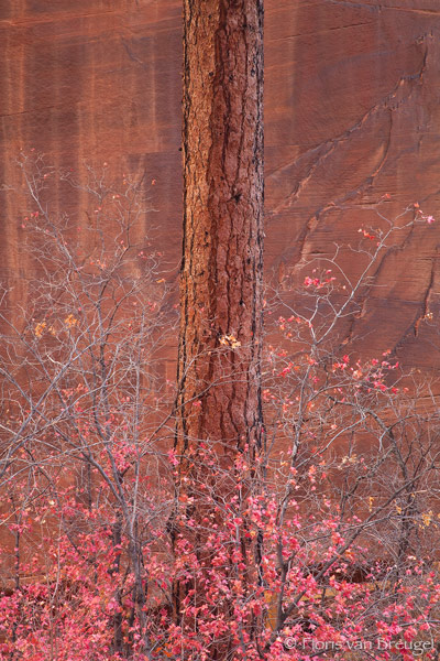 Red Ponderosa and Maples, Zion National Park, Utah, red, fall, sandstone, photo