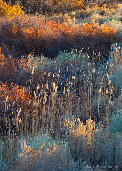 Owens Valley Fall Foliage, Eastern Sierra, California, dancing in the sun, backlight, turquoise, rabbitbrush, photo