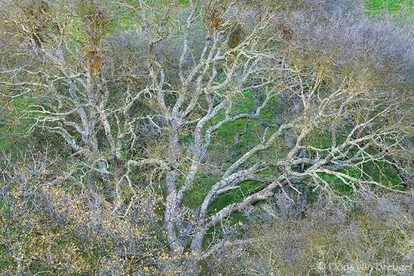 Oak Tree near Shell Ridge, Mount Diablo State Park, California, dendritic, spring, twisted, photo