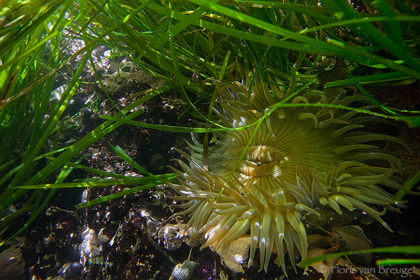 Sea Anemone in Tide Pool, Montana de Oro State Park, California, tidal forest, photo