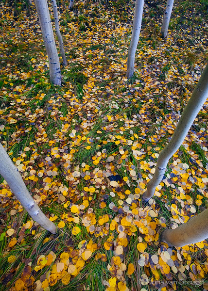 Fall Aspen, Bishop, California, magic carpet, grassy, photo
