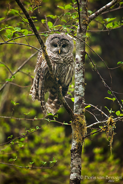 Barred Owl, Hoh Rainforest in Olympic National Park, Washington,