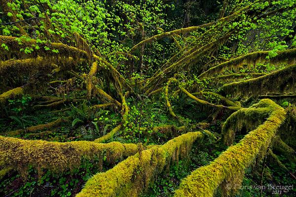 Moss, Hoh Rainforest in Olympic National Park, Washington, vine maples