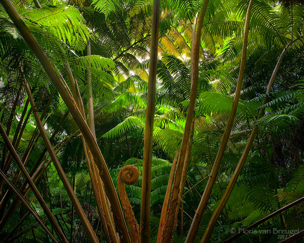 Fern Forest Hawaii Volcanoes National Park