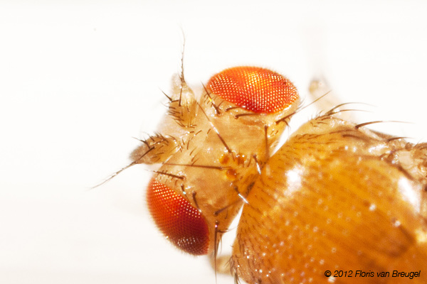 Drosophila melanogaster, Fruit fly, photo